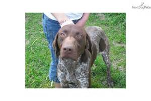 Liver German Shorthaired Pointer Puppies