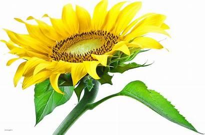 Sunflower Leaf Transparent Background Flowers Clipart Oil