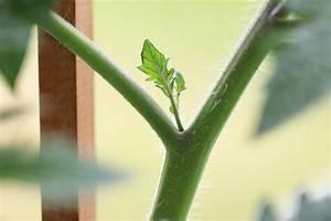 Ab Wann Erdbeeren Pflanzen : ab wann tomaten pflanzen tomaten aus samen selber ziehen anleitung vom samen bis zum pflanzen ~ Eleganceandgraceweddings.com Haus und Dekorationen