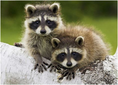 owning a raccoon raccoon facts pictures lifespan diet behaviour lifecycle appearance animals adda