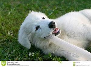 White Sheepdog Puppy Playing Stock Photography - Image ...