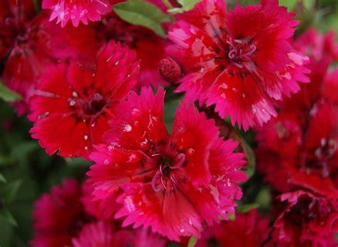 Vasaras puķes, Latvijā audzēti puķu stādi