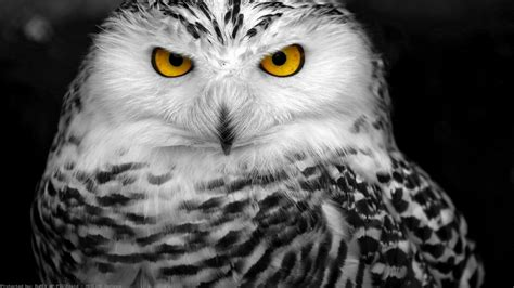Hd Owl Wallpapers by Snowy Owl Wallpaper Hd 78 Images
