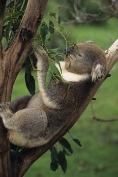 kind  temperature  koalas   animals momme