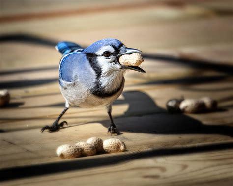 blue jay eating a peanut by al mueller