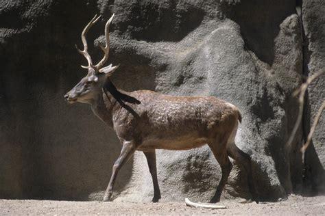 barbary red deer san diego zoo institute