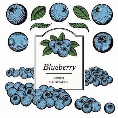 Blueberry Vector Blueberries Vectors Illustration Clip Illustrations