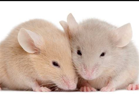 show me pictures of mice increase in 31 000 animals used for experimentation vast majority are mice and rats business
