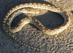 Desktop baby gopher snake pictures download