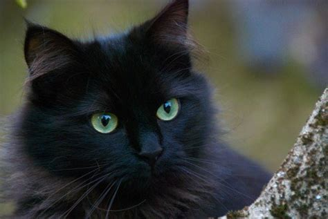 black cat names what are the best names for black cats pethelpful