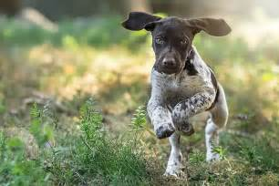 Lupus in German Shorthaired Pointers