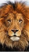 1000  ideas about Lion...