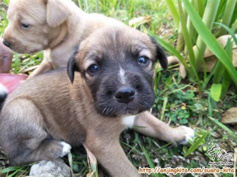 adopsi anakan anjing suara kita anjingkitacom