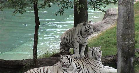 desktop nature wallpaper white tigers  desktop