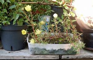 Portulak Pflanzen Kaufen : garten anders portulakr schen bedingt winterhart ~ Michelbontemps.com Haus und Dekorationen