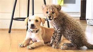 zoos are pairing nervous cheetahs with support dogs and it