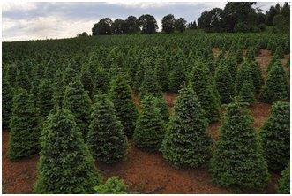 oregon christmas tree growers tree grower branches out usda