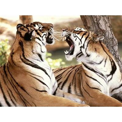Big Cats in India – Tigers « travel2cities