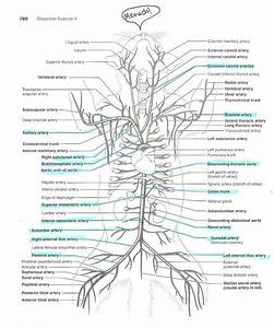Cat Arteries And Veins Diagram