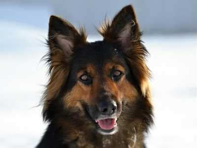 bohemian shepherd information characteristics facts names