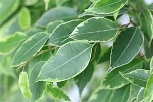 Ficus Benjamini Gelbe Blätter : ist ficus benjamini giftig infos f r kinder katzen hunde und v gel ~ Watch28wear.com Haus und Dekorationen