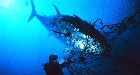 bluefin tuna population  dropped  percent due
