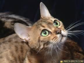 bengal cat price bengal cat price image search results