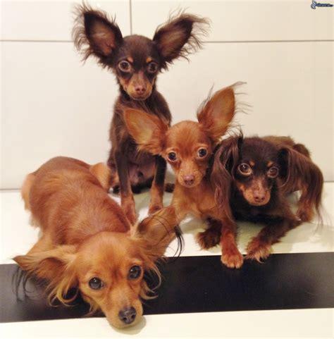 canapé pour chiens pinscher nain