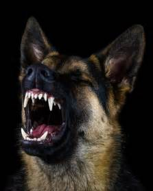 German Shepherd Dog Teeth