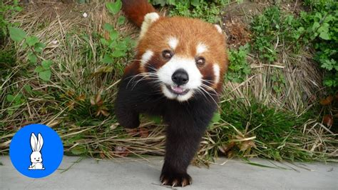 adorable red panda cutest compilation youtube
