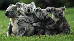 Body Temperature App Why Do Koalas Hug Trees Lifegate
