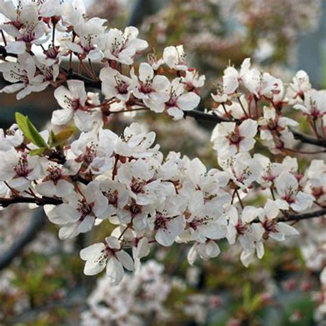 prunus flowering cherry prunus cerasifera hessei buy dwarf flowering cherry plum