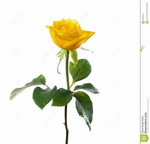 Single Beautiful Yellow Rose Stock Image - Image of leaves ...