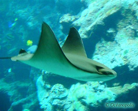vm10082300 oceanopolis du nouveau dans le bassin des requins