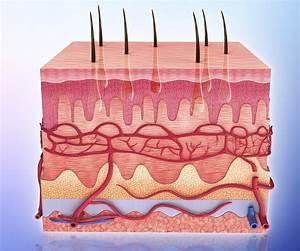 Diagram Of Skin Tissue
