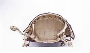 Tortoise Skeleton, Cross-section Photograph by Colin