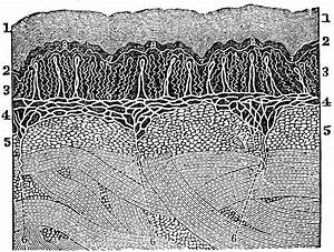 A Diagram Of The Layers Of The Skin