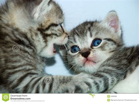 Talking Kittens Stock Photo Image Of Tiger, Gray, Meow