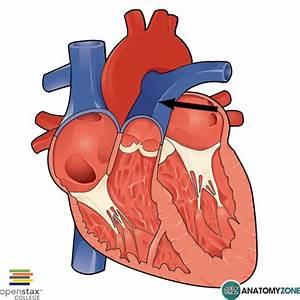 Image Gallery pulmonary trunk