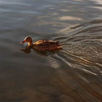 Duck Swimming Resolution Domain 2592 Dimensions