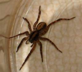 Light Brown Spiders by Light Brown Spider With Dark Brown Stripe On Its Back