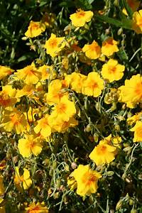 heliantheme planter et cultiver ooreka With modeles de rocailles jardin 7 achillee planter et cultiver ooreka