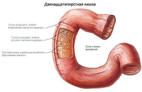 Duodenum   Competently about health on iLive