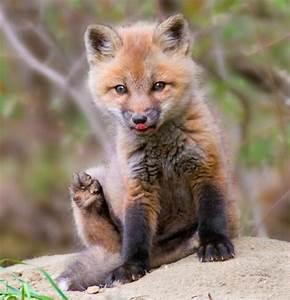 Cute Baby Animals - He's foxy