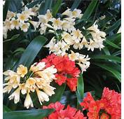 GROWING THE BEST CLIVIAS HOW  Click Here And See