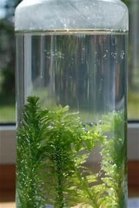 Sauerstoff Im Aquarium : pflanzensauerstoff wird sichtbar nela forscht naturwissenschaft f r kinder ~ Eleganceandgraceweddings.com Haus und Dekorationen