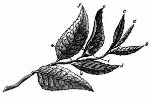 Plucked Tea Leaves (Six) | ClipArt ETC