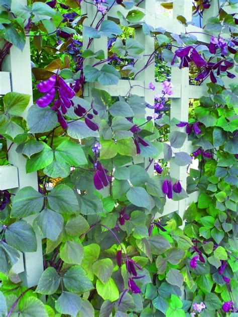 vining plants for sun 104 best images about climbing vines on pinterest arbors plants and sun