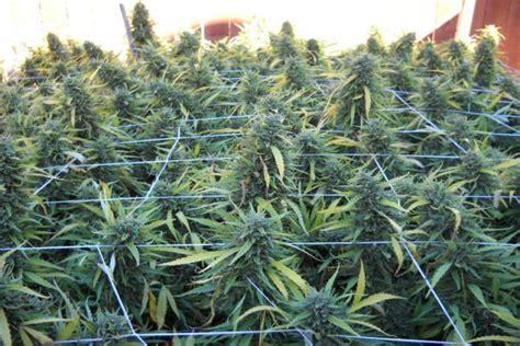 dix types de scrog pour laisser tout le potentiel des filets s exprimer dans la culture de cannabis