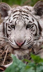 Paradise Wildlife Park: White Tiger | Dyr, Tigere og Søte dyr